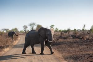 Olifant in het Kruger Park